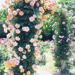 花/アーチ/ガーデニング/綺麗/Rose/薔薇/... 岐阜県可児市にある 花フェスタ記念公園 …