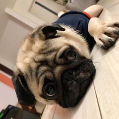 犬/パグ/ペット ラキ H29.4.4生まれ 昨日、1歳に…