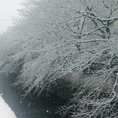 季節/木 自然 雪の日のあの時の木が今は桜開花🌸
