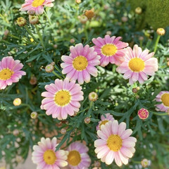 ガーデニング/花のある暮らし/チューリップ/ボンザマーガレット/ベランダガーデニング/ナチュラルガーデン 春の陽射しをたっぷりあびて チューリップ…(3枚目)