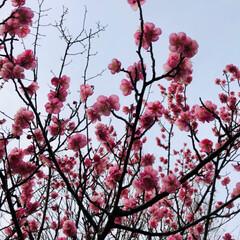 梅/ピンク/おでかけ 昨日は晴れて梅が綺麗だったのに、今日の雨…