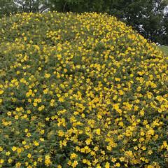 花/公園/帰り道/黄色い花 可愛いお花が満開でした。 なまえは、、、…(1枚目)