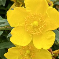 花/公園/帰り道/黄色い花 可愛いお花が満開でした。 なまえは、、、…(2枚目)