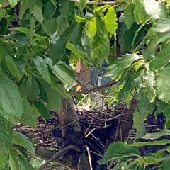 夏の楽しみ/バードウォッチング/観察/鳥の巣 久しぶりのいいお天気!洗濯物をたくさーん…