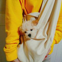 MIX犬/男の子/マルプー/ペット/犬 ドッグスリング作ってみました😊