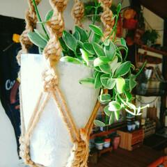 プラントハンガー/ディスキディア/観葉植物/インテリア 初めましてのディスキディア 吊るしてみま…