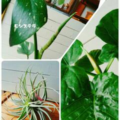 エアープランツ/ウンベラータ/モンステラ/観葉植物/梅雨/ボタニカル モンステラもウンベラータも新しい葉が出て…