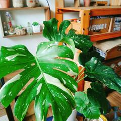 観葉植物/ボタニカル/インテリア モンステラを買ってみました。葉っぱが大き…