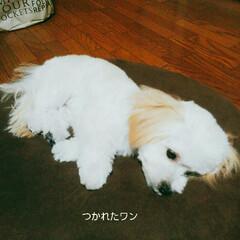 スッキリ/初のトリミング/マルプー/ミックス犬/ペット/犬/... トリミングデビュー🔰しました😊 病院の中…(2枚目)