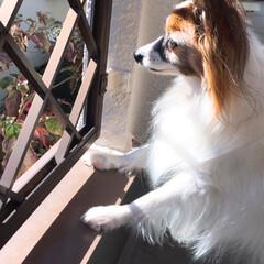 パピヨン/ペット/犬/うちの子ベストショット ベランダからお外を見るのが好き
