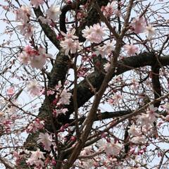 LIMIAおでかけ部/小さい春 近所の保育所の桜🌸 金沢はまだ開花宣言し…(1枚目)