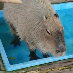 ミーヤキャット/大声/うんち/カメ/ミニぶた/カピパラ/... 久山 プチ動物園  カピパラが 水の中で…