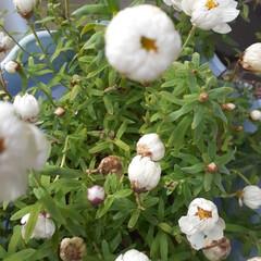 「春だね〜 花たちが咲き始めた~  イチゴ…」(1枚目)