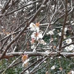 「#ゆず#梅#うめ#庭# 柚子が今年は豊作…」(2枚目)