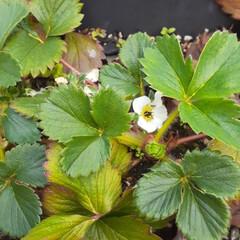 「春だね〜 花たちが咲き始めた~  イチゴ…」(3枚目)