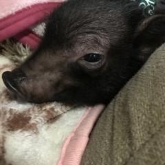 黒豚/かわいい/家族/かぞく/はなちゃん/ダックスフンド/... ミニぶたのとんこちゃん  2週間目  少…