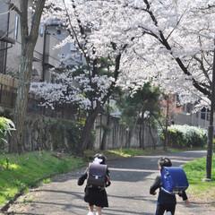 出発/仲良し/双子/いとこ/入学式/桜