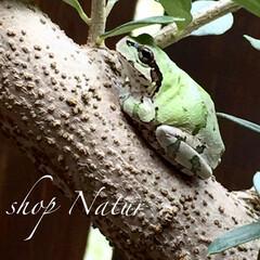 日陰/葉っぱ/オリーブの木/カエル ショップ前のオリーブの木 葉っぱの下でカ…