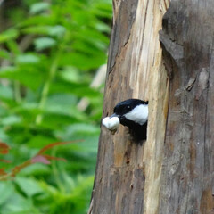 野鳥/動物/DIY 親鳥はヒナの糞をくわえて外に捨てに行きま…