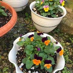 小さな庭/セリア きれいだな〜花はいいです。来年の春もいっ…