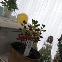 虹の玉/観葉植物のある暮らし/観葉植物 戴いた時より成長してきてる♡生きてますね…