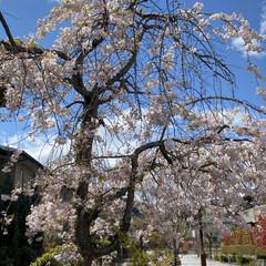 散歩/桜 先程の続きです🌸 良い天気☀️で少し風は…(3枚目)
