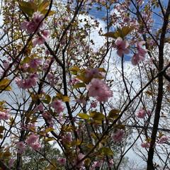散歩/桜 先程の続きです🌸 良い天気☀️で少し風は…(2枚目)
