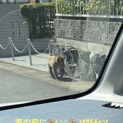 猿/GW 昨日買い物から帰って来たら 猿🐒が歩いて…