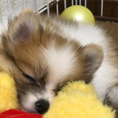 可愛い/ポメラニアン/寝顔/お昼寝/子犬/パーティーカラー/... 春はぽかぽかで眠くなるから 黄色いお友達…