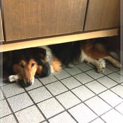 お気に入り/ペット/玄関 ジャッキーのお気に入りの場所 暑いと 玄…