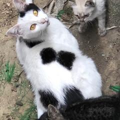 ネコ/暮らし 近所のノラ猫シロが産んだ赤ちゃんを やっ…