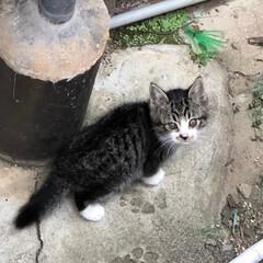 ネコ/暮らし 近所のノラ猫シロが産んだ赤ちゃんを やっ…(3枚目)