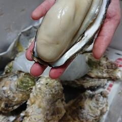 令和の一枚/頂き物/牡蛎/驚愕! でっかい牡蛎もらった❗ 実家から二日連チ…