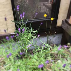 ラベンダー/ゴールデンステック/ガーデニング/マイガーデン ラベンダーの花壇にポイントでゴールデンス…