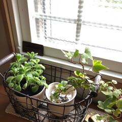 グリーンのある暮らし/グリーン/梅雨/ボタニカル/雑貨/住まい 梅雨時期は室内の多肉植物の扱いが難しいら…