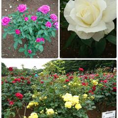 おでかけ 綺麗な薔薇🌹(1枚目)