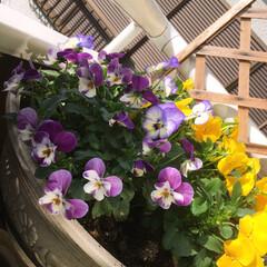 住まい パンジーの花が🌼1番大好きです 色々な色…