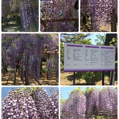 「藤の祭りに5月だけど行って来ました 紫色…」(1枚目)