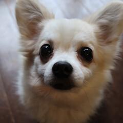 チワワロング/犬 ⌘アトム チワワロング 雄
