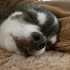 おやすみショット チワワのジャック♥️ 今年11歳ですが、…