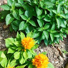 花/ガーデニング ランタナが蕾を付けました♪ 沢山咲いてく…