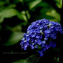 花 紫陽花 涼しげで大好きです。 l(1枚目)