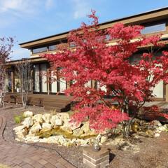 オーガニックハウス/滋賀/展示場/紅葉 展示場のイロハモミジが紅葉しました。 燃…