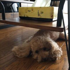 9歳/プードル/愛犬 おはようございます☀ 午前中はクーラーは…