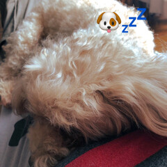 ムック/愛犬 私が寝ると、直ぐにお腹の上で寝てしまう💤…