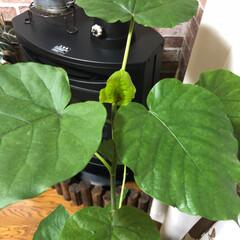 ハロウィン/観葉植物/ウンベラータ/スカル/100均/ダイソー 今日、ダイソーでスカル💀見つけて、リアル…(4枚目)