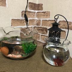 ペンダントライト/ベタ/観賞魚/メダカ/セリア メダカちゃん(左)と昨日買ってきた観賞魚…