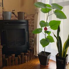 ウンベラータ/観葉植物/100均/セリア ウンベラータ 一回り大きな鉢に植え替えし…