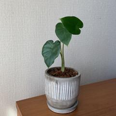 クワズイモ/観葉植物/ハーゲンダッツ期間限定/コーチバッグ (*´ω`)人(´ω`*)オヒサー♪の投…(4枚目)