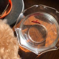 ムック/熱帯魚のベタ/天井照明/ペット/犬 我が家の天井照明達 リビングはアイアン調…(4枚目)
